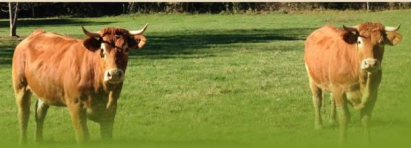 vaches des Charmes