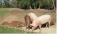 amap:cochons_petits.png